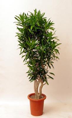 ソングオブジャマイカ 商品名 ソングオブジャマイカ9号鉢 税込価格 ¥8,800−  ドラセナ・