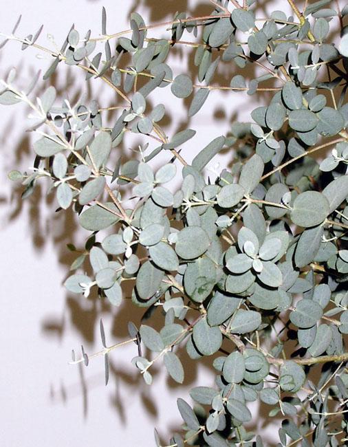 丸葉ユーカリの葉 *時期により葉の伸びが多少違いますがご了承下さい。 商品名・品番 丸葉...